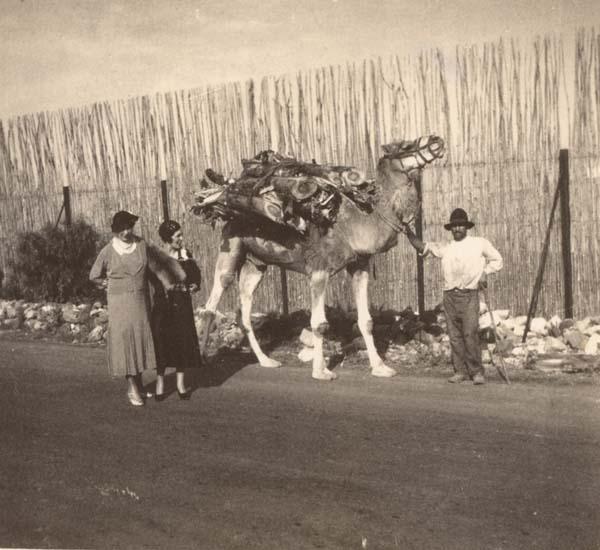 camello en Agaete