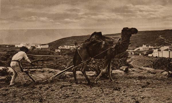 camello trabajando en el campo