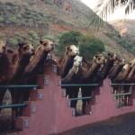 camellos en el rancho verde