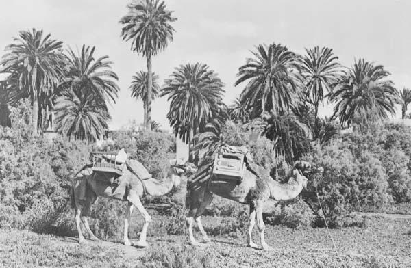 camellos y charca
