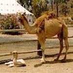 camellos_coralrest