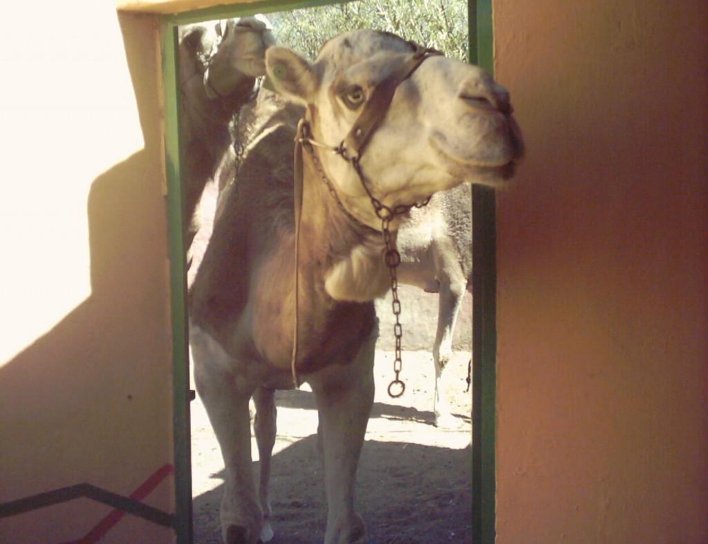 camello novelero